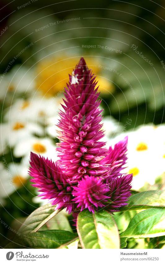 Blume im Garten Natur Blume Sommer Farbe Garten Wohnung