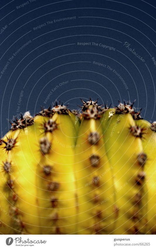 { kak*** } blau Pflanze Botanik Kaktus Stachel stechen Torun