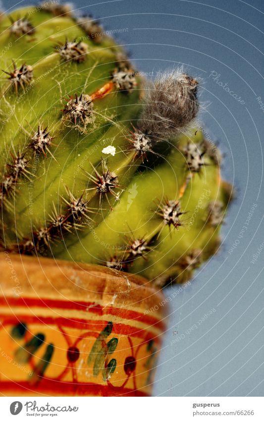 { kak*** zwo } blau Pflanze Botanik Kaktus Stachel stechen Torun