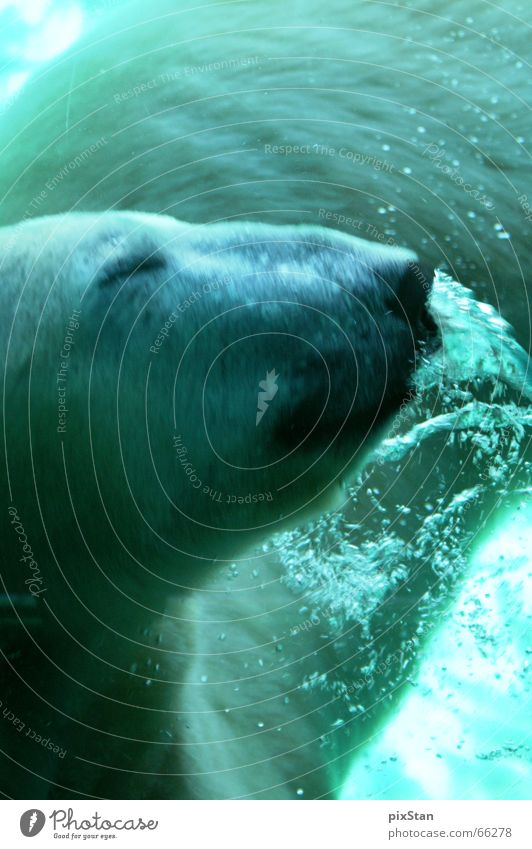 Coool bear Wasser blau Tier Bewegung Coolness Unterwasseraufnahme Luftblase Australien Bär Schnauze Eisbär