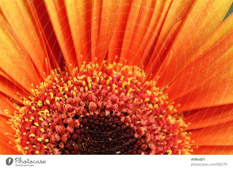 Gerbera Blume Farbverlauf Farbenspiel Innenaufnahme gebera Makroaufnahme orange-gelb Detailaufnahme