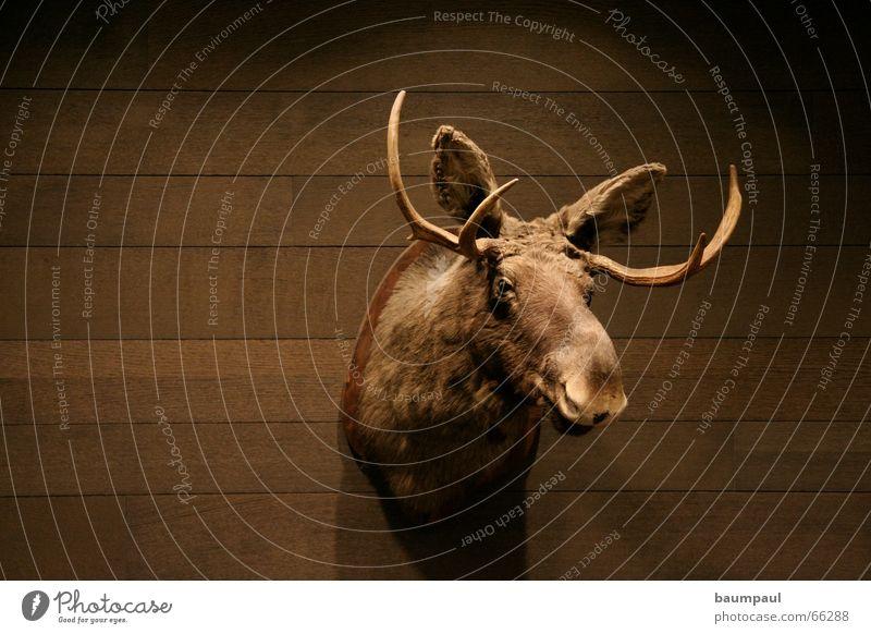 Ein Elch ist ein Elch ist ein Elch ist ein Elch Tier dunkel Wand Holz Mauer Bild Jagd Wohnzimmer Holzbrett Horn Säugetier Pokal Parkett Schädel Elch Holzleiste