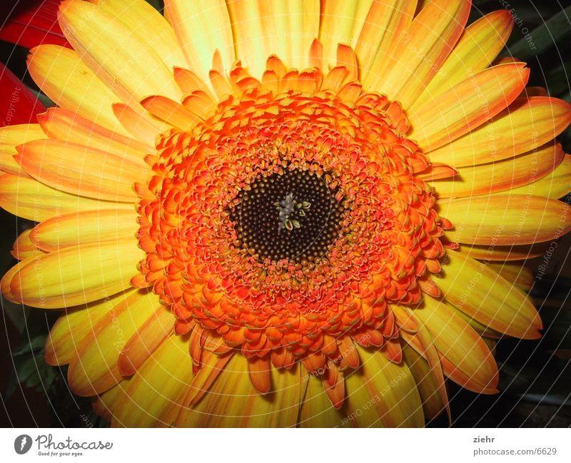 Aster Blume Blüte Astern gelb Pflanze