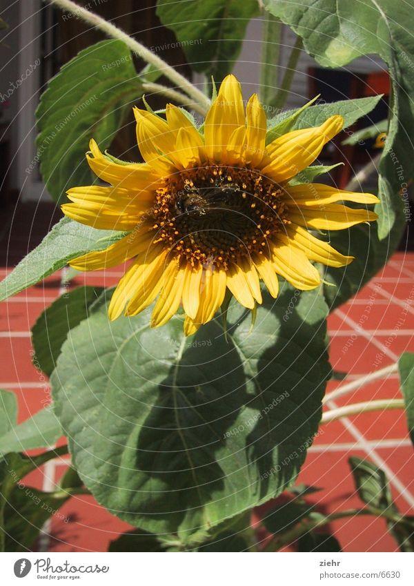 Sonnenblume Blume Pflanze Blüte Biene Sonnenblume