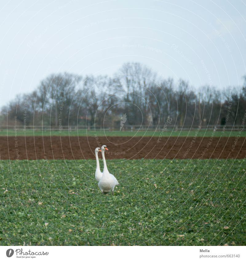 Schwanenland Natur Landschaft Tier Umwelt natürlich gehen Feld Wildtier Tierpaar stehen paarweise doppelt gemoppelt