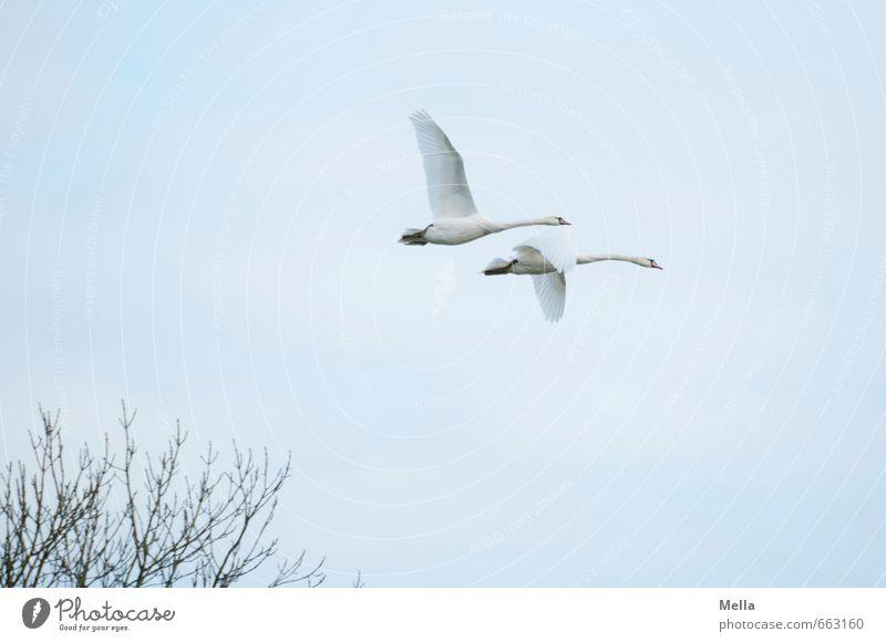 2 Himmel Natur Tier Umwelt Freiheit natürlich Freundschaft Luft fliegen Zusammensein frei Wildtier Tierpaar paarweise Ast Schwan