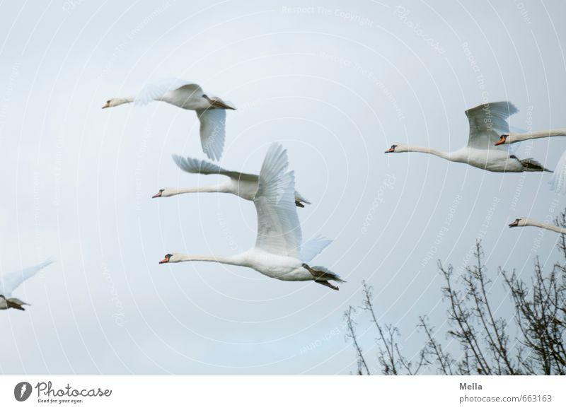 Und weg Umwelt Natur Tier Luft Himmel Ast Wildtier Schwan Tiergruppe Schwarm fliegen frei Zusammensein natürlich Stimmung Bewegung Freiheit mehrere flüchten