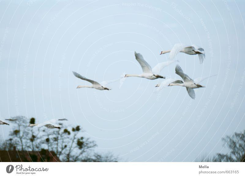 In die nächste Woche fliegen Umwelt Natur Tier Luft Ast Vogel Schwan 4 Tiergruppe Schwarm Tierfamilie frei Zusammensein natürlich Stimmung Freiheit Farbfoto
