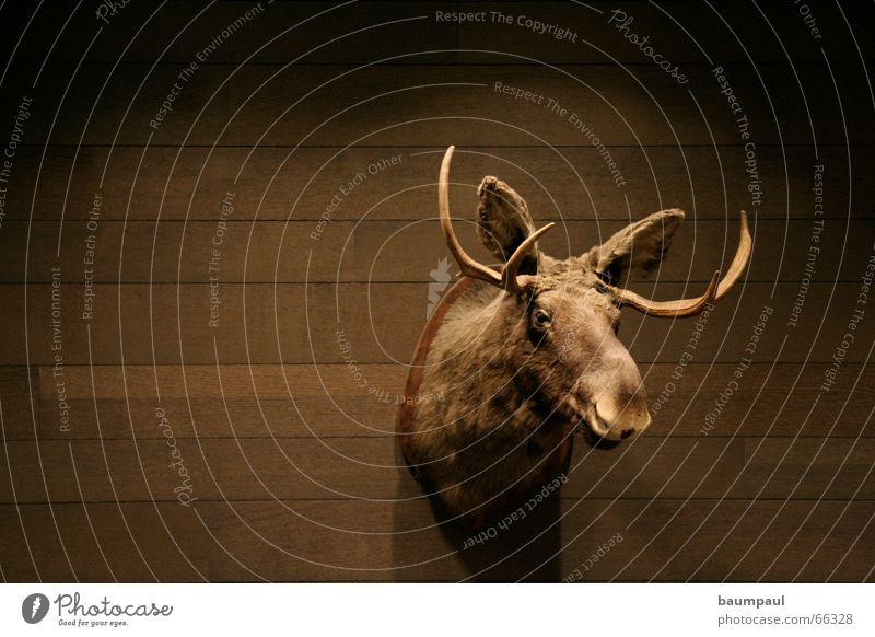 Blöder Elch Pokal Horn Holz Wand Licht dunkel Tier Jagd Trophäe Parkett Zugtier Nutzholz Mauer Prämie Säugetier Wohnzimmer ausgestopft Schädel animal Bild