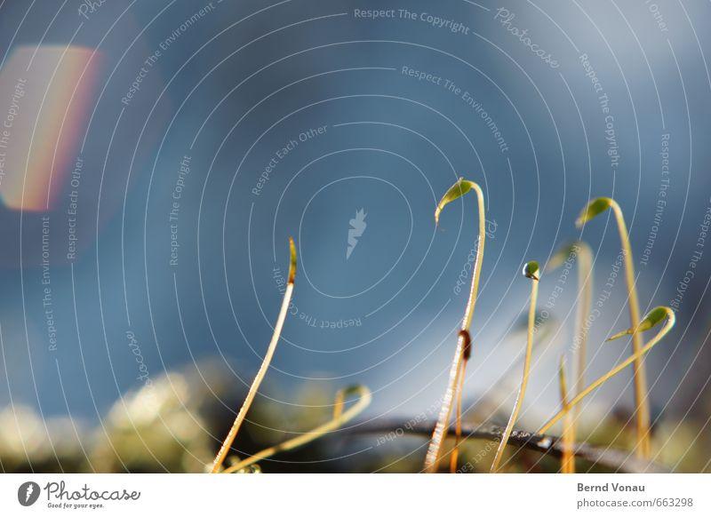 Halbe Sachen | Halbwüchsige Umwelt Natur Moos blau grau grün schwarz Wachstum Himmel Unschärfe Stengel sprießen aufstrebend klein Farbfoto Makroaufnahme