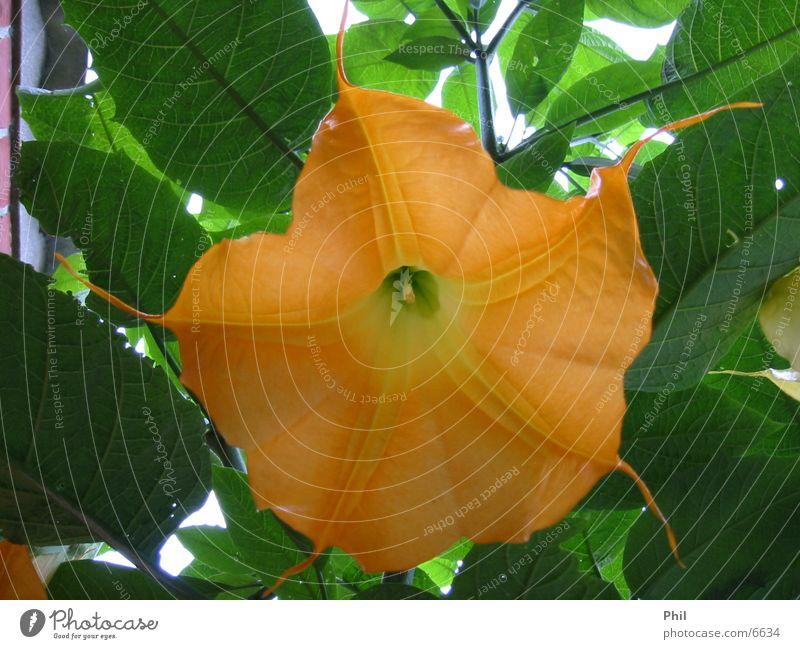 play the orange trumpet Blume Pflanze Blüte orange Blütenkelch Trompetenbaum