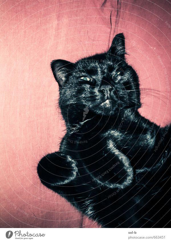 O | Meckern Glück Erholung Häusliches Leben Bett Tier Haustier Katze 1 schlafen Spielen Aggression kuschlig verrückt wild Wut schwarz Vorsicht gereizt gestört
