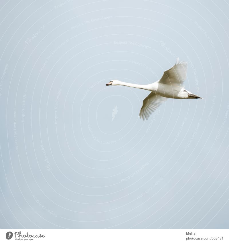 Jetzt aber schnell! Umwelt Natur Tier Luft Himmel Wildtier Vogel Schwan 1 fliegen frei natürlich blau Stimmung Zufriedenheit Freiheit gleiten Schweben