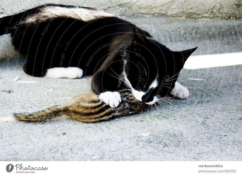 Mahlzeit Katze Tier Tod Ernährung Streifen Appetit & Hunger Fressen Maus kämpfen Pfote Eichhörnchen anschaulich Angriff Ratte Schlacht