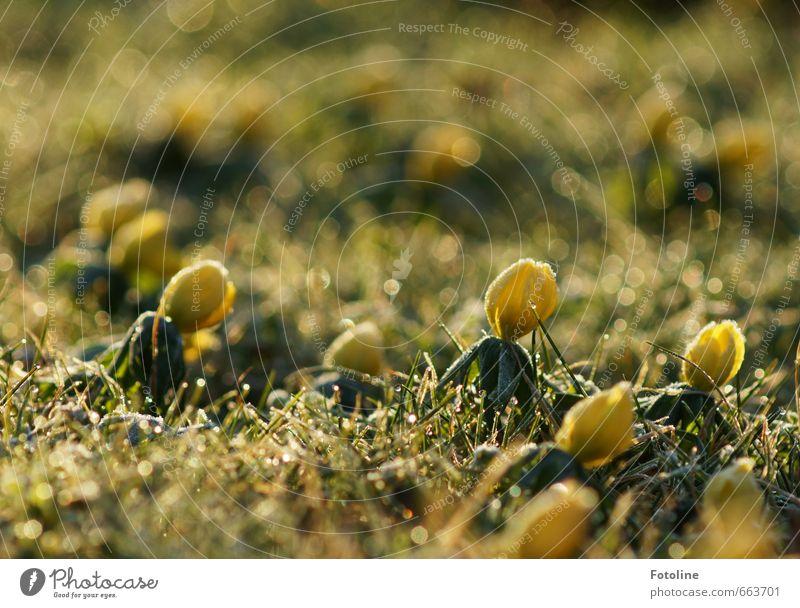 frostig Natur grün Pflanze Landschaft Blume kalt gelb Umwelt Wiese Gras Frühling Blüte hell Garten Eis Park