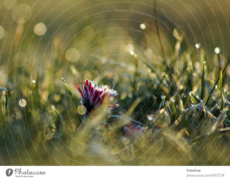Gänseblümchensorbet Umwelt Natur Pflanze Wasser Wassertropfen Frühling Eis Frost Blume Gras Blüte Garten Park Wiese hell kalt grün Farbfoto mehrfarbig