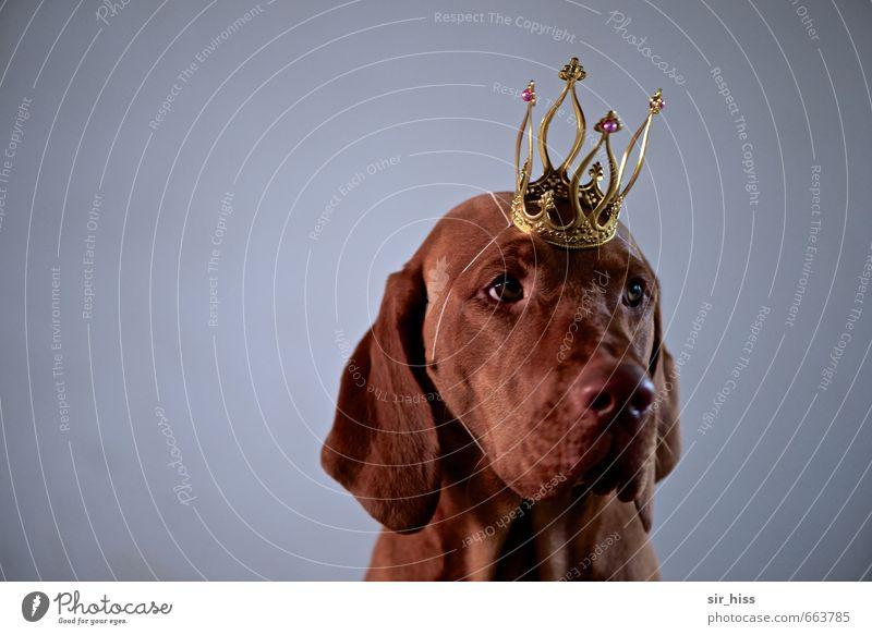 STUDIO TOUR | Prinz Schlappohr Hund Tier Traurigkeit lustig grau Denken außergewöhnlich braun gold elegant sitzen warten authentisch verrückt beobachten Macht
