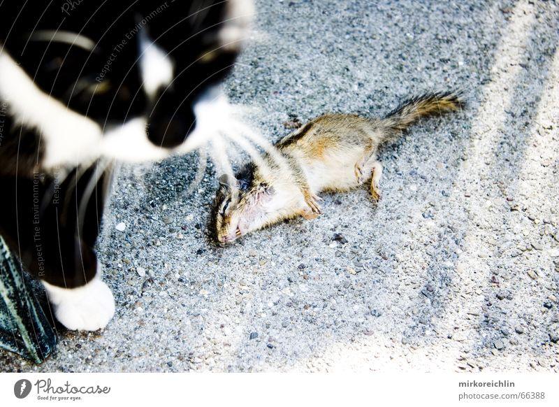 Mahlzeit 2 Katze Tier Tod Ernährung Streifen Appetit & Hunger Fressen Maus kämpfen Pfote Eichhörnchen anschaulich Angriff Ratte Krieg