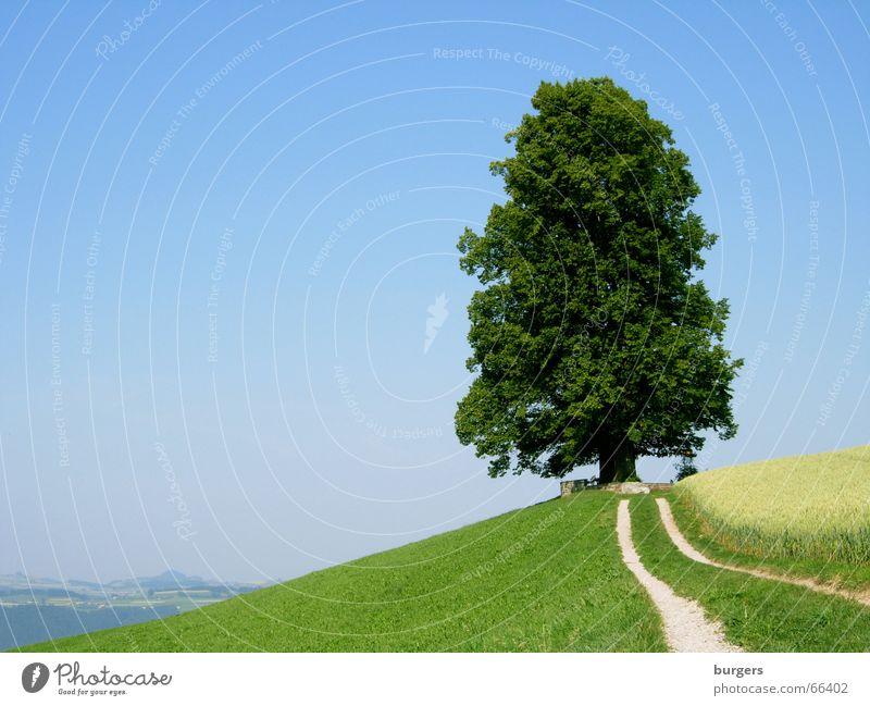Kraftort Baum einzeln groß Einsamkeit grün Laubbaum Hügel Feld Horizont Aussicht ruhig erhaben Außenaufnahme Landschaft Himmel blau Schönes Wetter Wege & Pfade