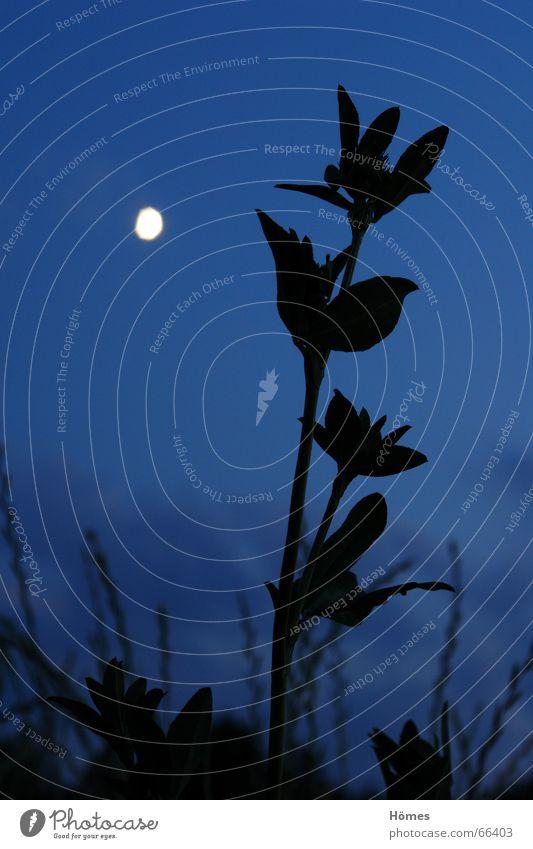 Mondblume Natur Himmel blau ruhig schwarz Wiese Gras Freiheit hell Sehnsucht Gelassenheit Größe Anomalie