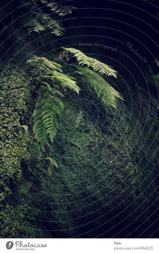 Das Licht im Dunkel Natur Pflanze Moos Farn Urwald Felsen grün dunkel mystisch Farbfoto Gedeckte Farben Außenaufnahme Menschenleer Tag Schatten Sonnenlicht
