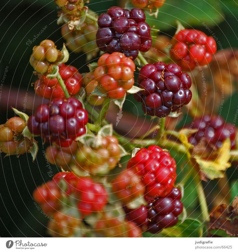 Sommer Natur rot Frucht Sträucher Tee lecker Vitamin Beeren stachelig Kletterpflanzen Blume Blaubeeren unreif Brombeeren Rosengewächse