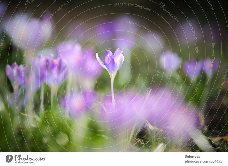 Einzelstück Erholung ruhig Duft Umwelt Natur Frühling Schönes Wetter Pflanze Blume Gras Blüte Krokusse Garten Park Wiese Blühend nah natürlich zart Farbfoto