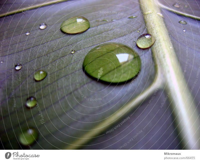 wassertropfen1 Herbst Sommer Blatt Baum Pflanze Natur Grünpflanze Topfpflanze Gefäße Blattadern Wassertropfen Tropfen nass Regen Trinkwasser Tau feucht grün
