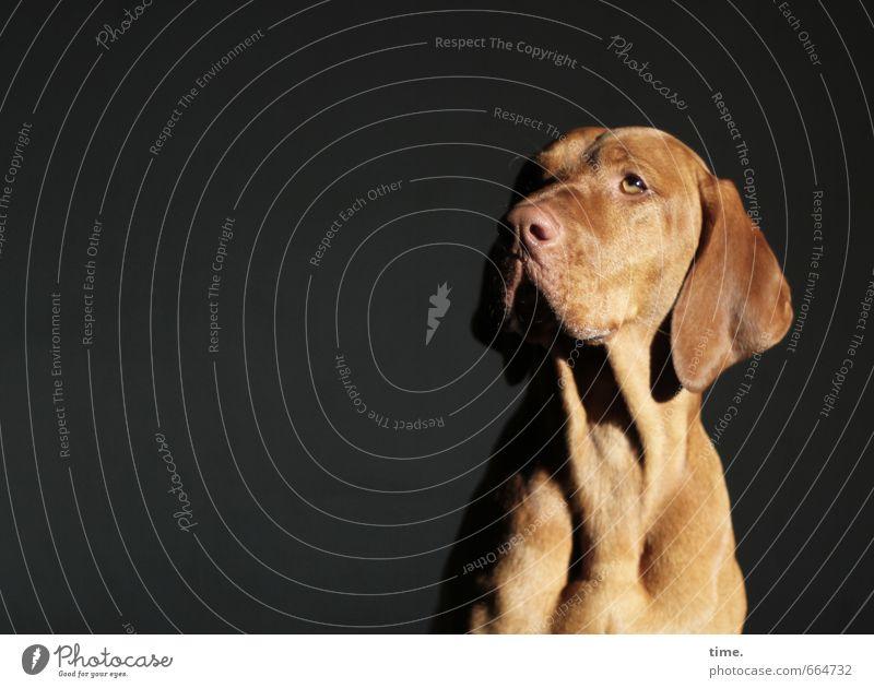 STUDIO TOUR | Lichtgestalt Tier Haustier Hund Tiergesicht Fell Weimaraner 1 beobachten genießen Blick sitzen elegant natürlich Wachsamkeit Vorsicht Gelassenheit