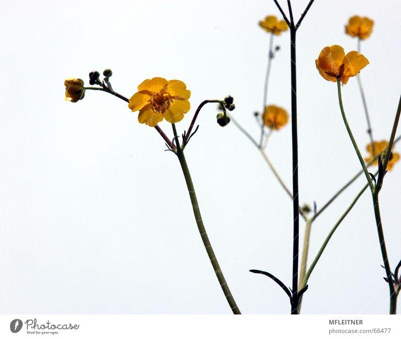 Buttercups | Butterblumen Natur weiß Blume gelb Löwenzahn
