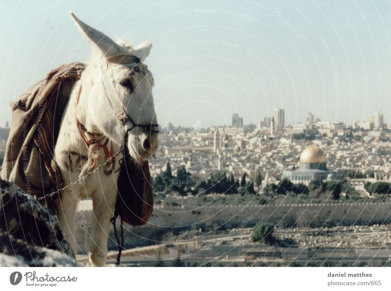 jerusalem Israel Jerusalem Stadt Esel Felsendom Tempelberg 1 weiß Menschenleer Außenaufnahme Farbfoto Moschee Islam heilig