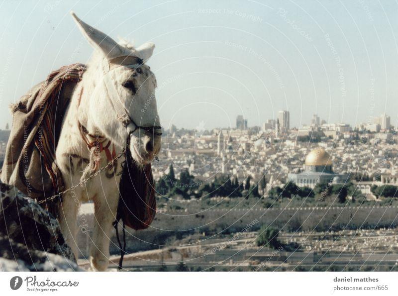 jerusalem Stadt weiß heilig Esel Israel Islam Moschee Naher und Mittlerer Osten Asien Jerusalem Felsendom Tempelberg