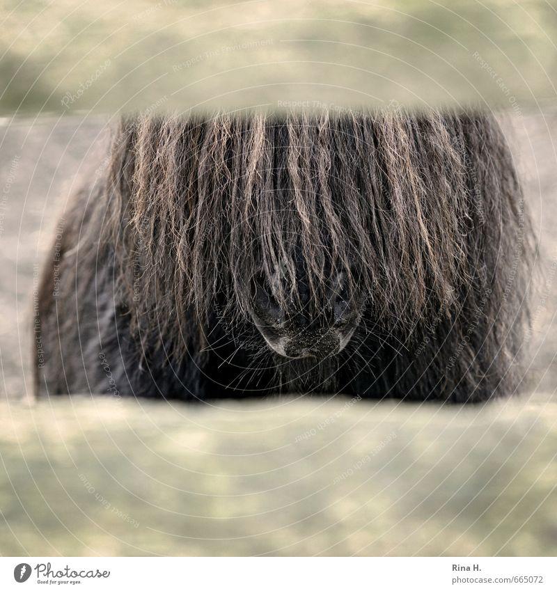 Kein Durchblick Tier Haustier Pferd 1 braun gefangen Pferch Pony Ponys Mähne Nüstern Gedeckte Farben Außenaufnahme Menschenleer Tierporträt Blick nach vorn