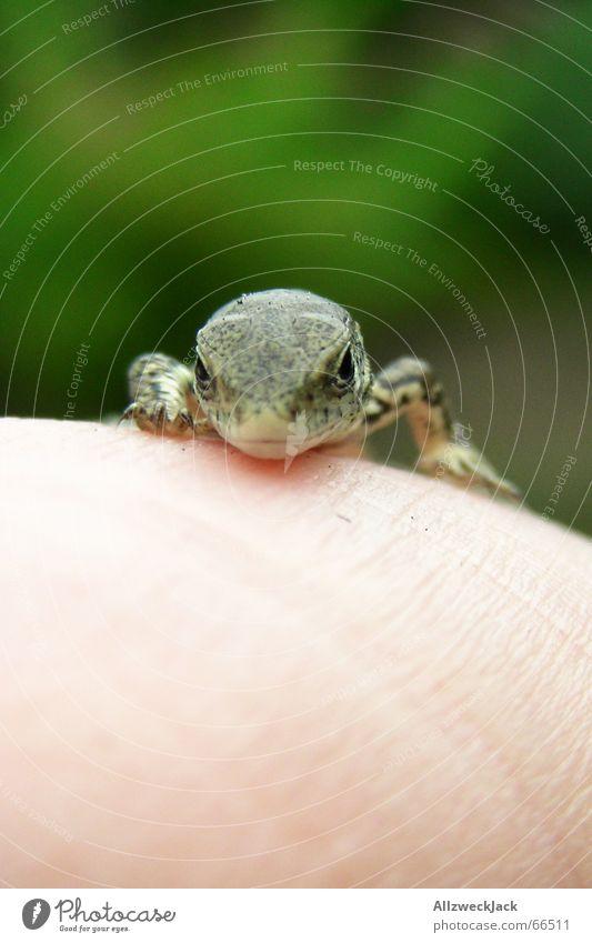 'sch gucke Natur Hand grün Tier klein Geschwindigkeit niedlich Neugier Reptil Echte Eidechsen Echsen