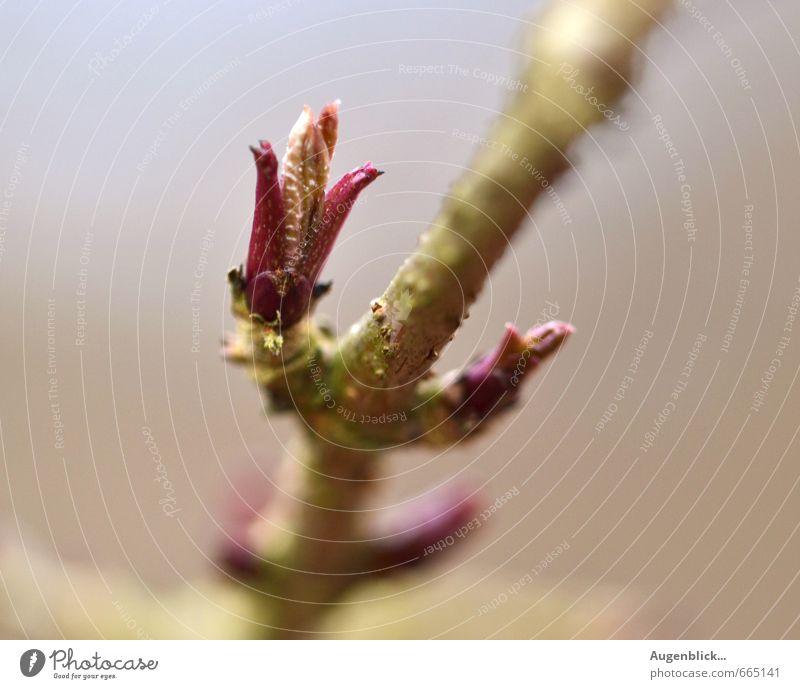 königlicher Frühling ... Natur blau schön Leben Frühling natürlich träumen rosa Kraft Wachstum frisch Blühend neu Duft Optimismus Frühlingsgefühle