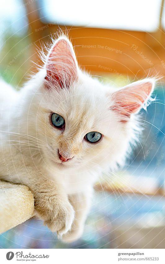 Sibirische Waldkatze Kopf Sibirien Haustier Katze Tiergesicht Hauskatze Katzenbaby Katzenjunges Tierjunges entdecken Erholung blau weiß Kitten Tierzucht Züchter