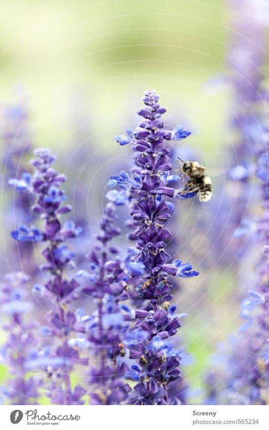 Andock-Sequenz Natur Pflanze Tier Sommer Blume Blüte Lavendel Garten Park Wiese Biene 1 fliegen grün violett Idylle Nektar Pollen Flügel Farbfoto mehrfarbig
