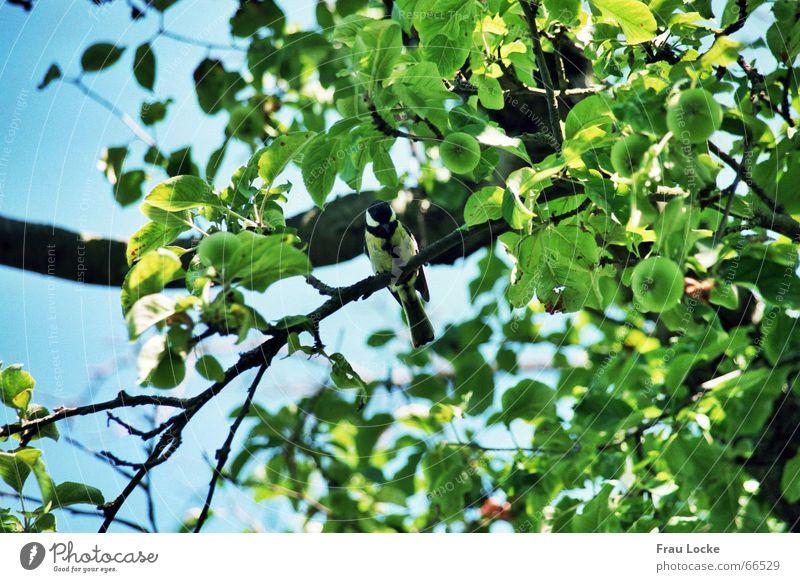 fröhliche Meise Natur Himmel Baum grün Sommer Blatt Wolken Vogel Meisen Gezwitscher Pfeifen Sperlingsvögel