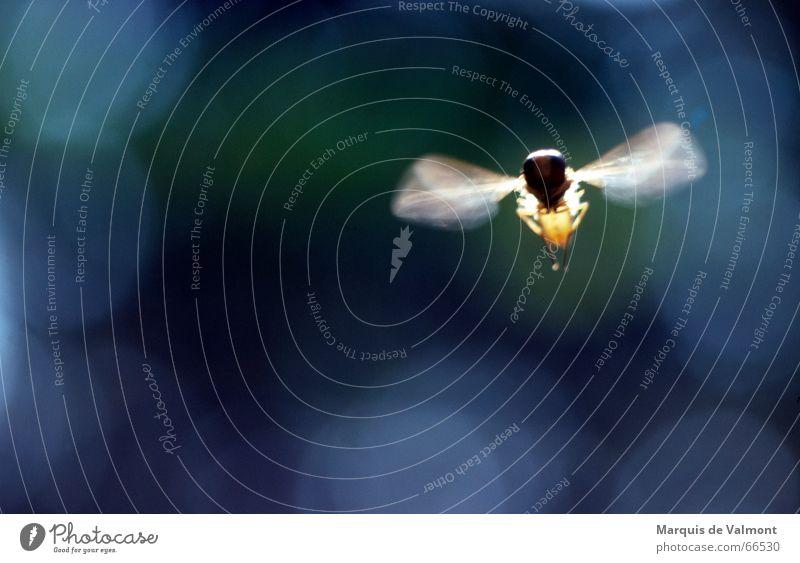 Und es hat SUMMMM gemacht... Schwebfliege Insekt Schweben Flügel Luft Unschärfe Bewegungsunschärfe Lichtfleck analog Makroaufnahme Nahaufnahme Fliege fliegen