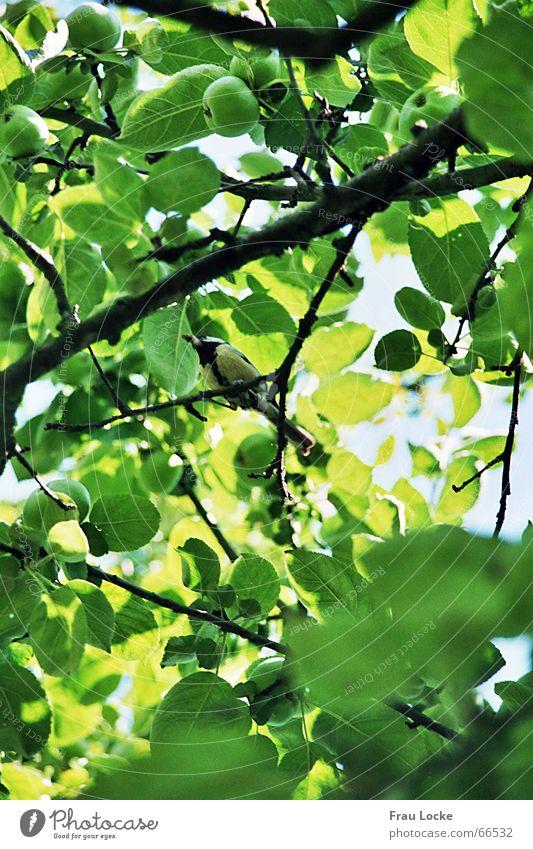 fröhliche Meise2 Meisen Sperlingsvögel Vogel Baum Sommer grün Blatt Wolken Gezwitscher tannenmeise (parus ater) standvogel kohlmeise (parus major)