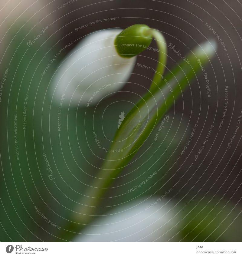 impressionen des frühlings Natur Pflanze Frühling Blatt Blüte Schneeglöckchen Garten Park Wiese frisch saftig grün weiß Duft Idylle rein Umwelt Vergänglichkeit