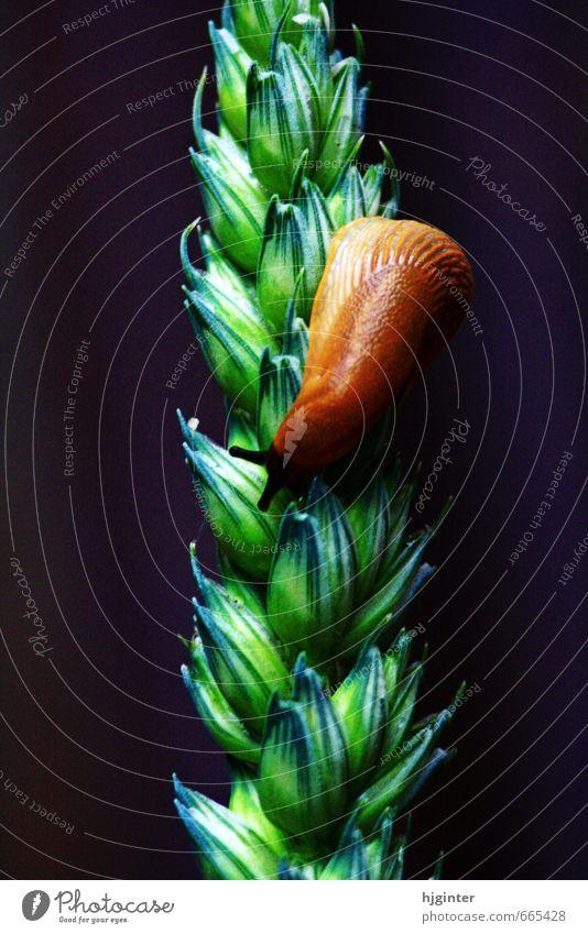 Schnecke auf einer Aehre Natur Pflanze Tier Nutzpflanze 1 ästhetisch authentisch außergewöhnlich nah natürlich braun grün Farbfoto Außenaufnahme Nahaufnahme