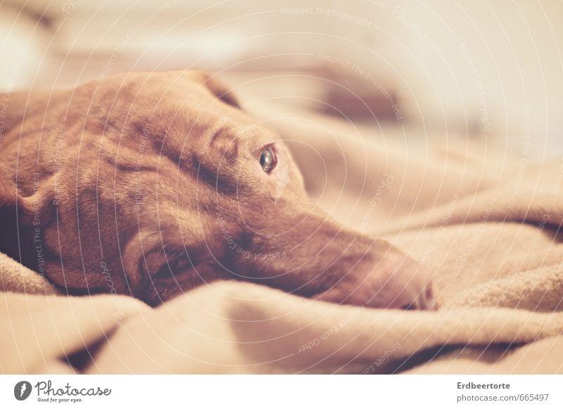 Das lange Warten hat ein Ende Tier Haustier Hund 1 Erholung liegen schlafen träumen kaputt braun Müdigkeit Sehnsucht Fernweh Erschöpfung Vertrauen Magyar Vizsla