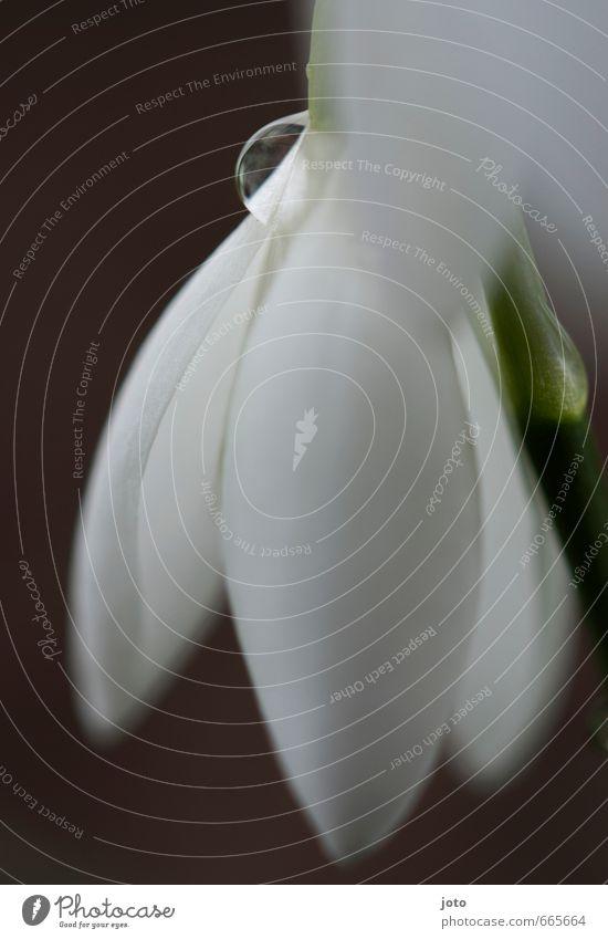 schneetröpfchen Natur Pflanze Wassertropfen Frühling Blüte Schneeglöckchen Blütenblatt ästhetisch elegant frisch kalt nass saftig weiß Einsamkeit Zufriedenheit