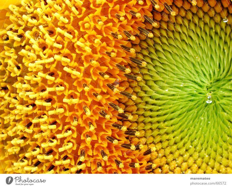 sunflower close-up Blume grün Sommer gelb Wärme orange frisch Physik Sonnenblume Schönes Wetter