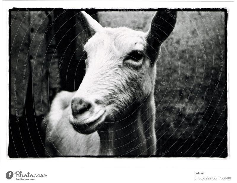 DIE ZIEGE UND IHR BAUER weiß Winter Tier schwarz kalt Eis frisch trist Bauernhof Zoo Landwirtschaft Säugetier Zicklein Nutztier Stall Stofftiere