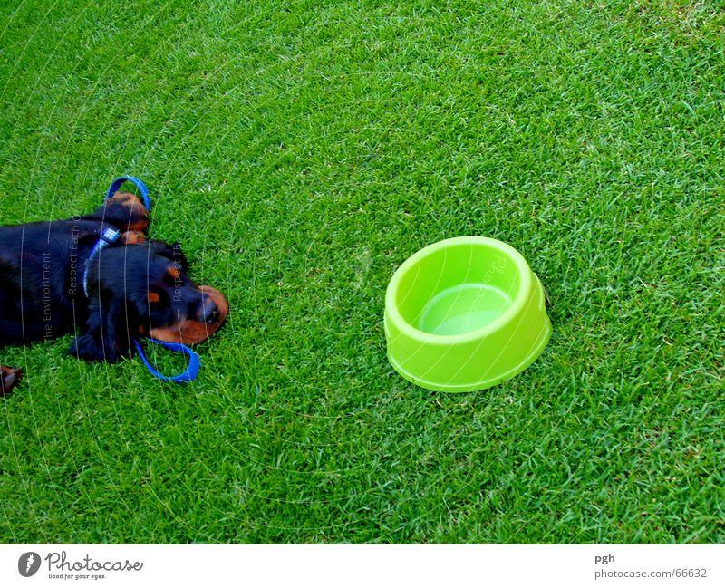 Wie soll ich denn mein Wasser finden? schwarz Hund braun schlafen Müdigkeit Durst Erschöpfung Mittagspause