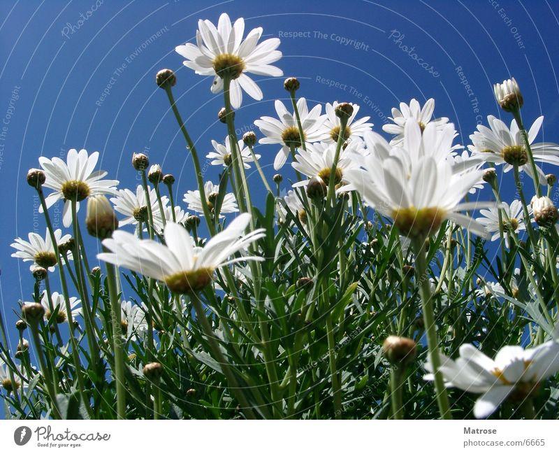 Versuch 2 (Untern Rock geschaut) Blume Margarite Himmel Makroaufnahme Margerite