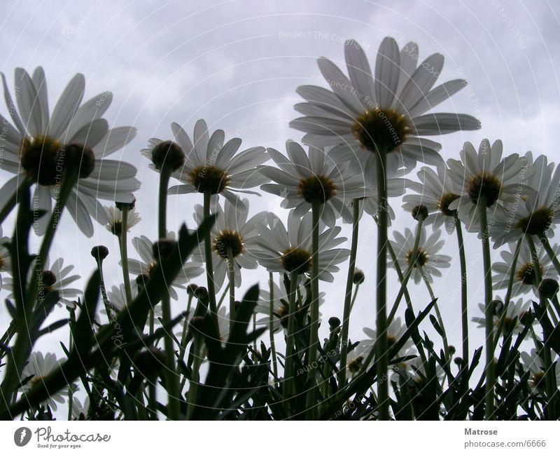 untern Rock geschaut Blume Margarite Margerite