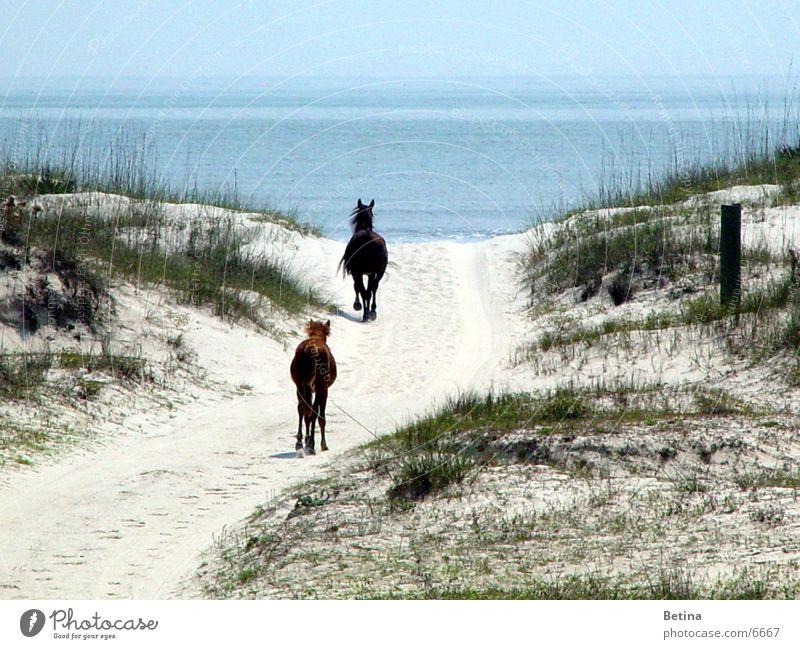 Wildpferde Farbfoto Außenaufnahme Tag Reiten Ferien & Urlaub & Reisen Ferne Freiheit Sommer Strand Meer Küste Tier Wildtier Pferd 2 Tierpaar Tierjunges